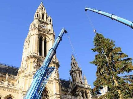 Der Weihnachtsbaum vor dem Wiener Rathaus wurde am Mittwoch geliefert und aufgestellt.