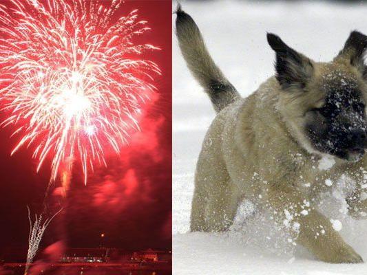 Silvester ist für Hunde kein Vergnügen - Knallerei bedeutet Angst und Stress