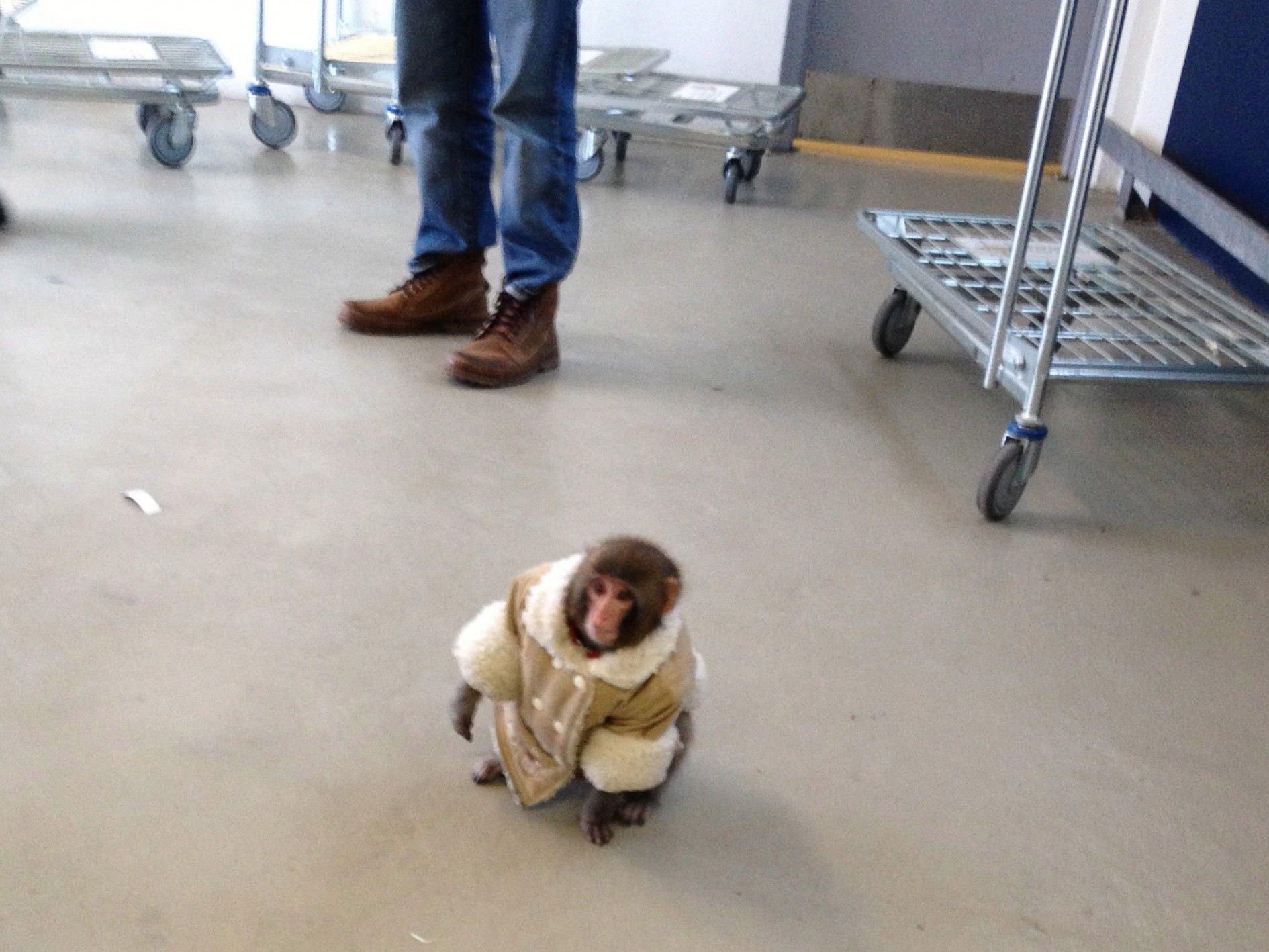 """Affe """"Darwin"""" bei seinem Ausflug bei Ikea in Toronto."""