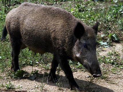 In Wien-Donaustadt war ein Wildschwein in einen Swimmingpool gefallen.