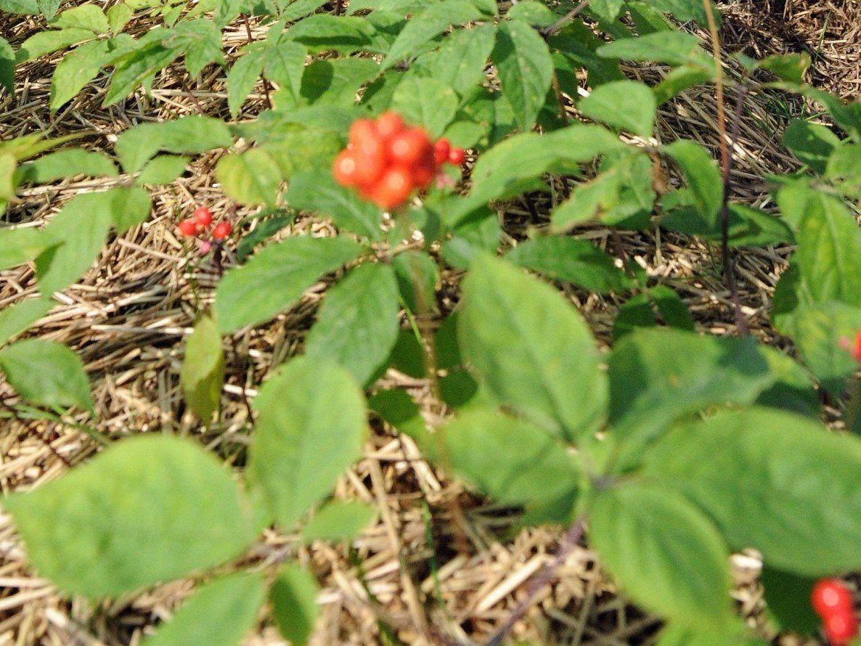 Ginseng-Beere: Forscher entdecken Aphrodisiakum als pflanzliche Alternative zu Viagra.