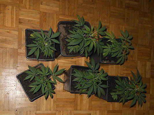 Diese Cannabispflanzen fand man in der Wohnung in Penzing