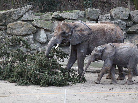 Groß war die Freude bei den Elefanten in Schönbrunn über den Christbaum