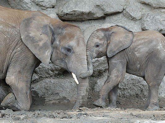 Mit einem neuen Erlebnisgutschein kommt man den Elefanten in Schönbrunn so nah wie noch nie