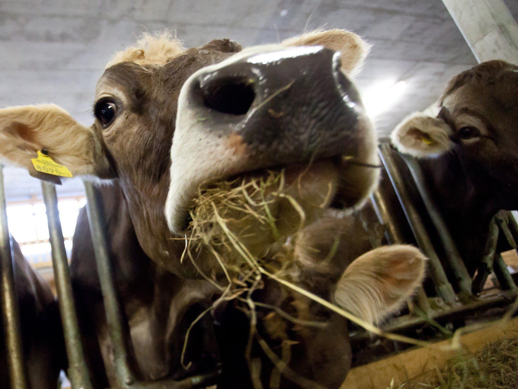 Von Rind zu Rind kann das Bakterium durch Einatmen, ausgehustete Tröpfchen sowie infiziertes Wasser und Futter übertragen werden.