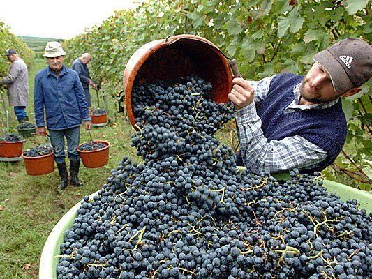 Die Wiener Stadtlandwirte sind unter anderem als Winzer tätig
