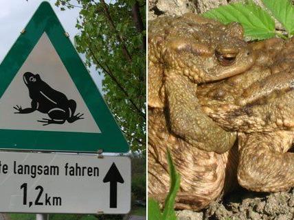 Die Tierschutzorganisation Vier Pfoten sucht freiwillige Helfer für die Krötenwanderung in Wien.