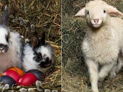 Der Bauernhof im Tiergarten Schönbrunn freut sich vor Ostern über Nachwuchs.