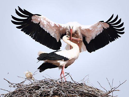 Nestbau und Paarung stehen auf dem Programm