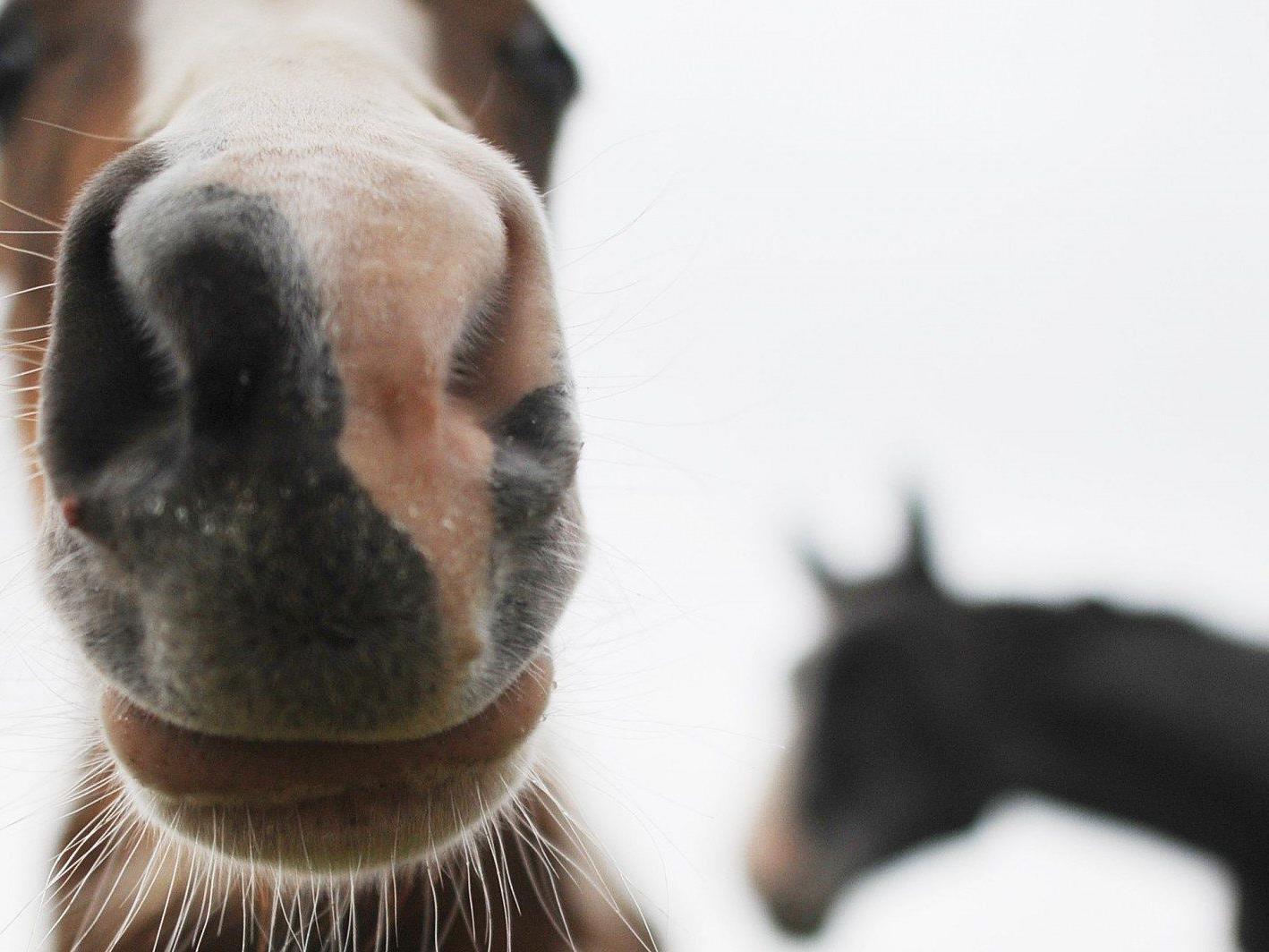 Im Burgenland wurde ein Pferd durch einen Unbekannten schwer verletzt.