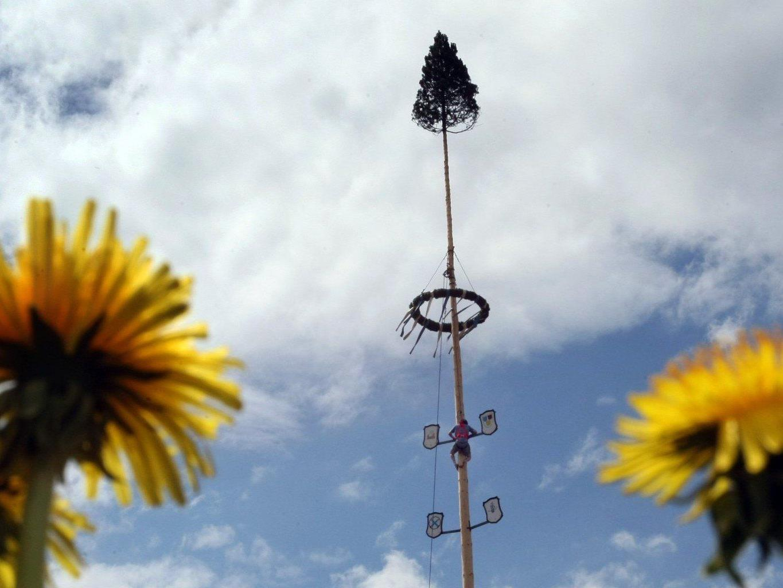 Am 30. April werden in Wien-Donaustadt gleich neun Maibäume aufgestellt.