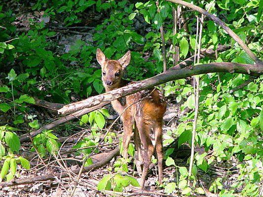 Wildtiere in den Wäldern brauchen zumeist keine Hilfe - nur Ruhe