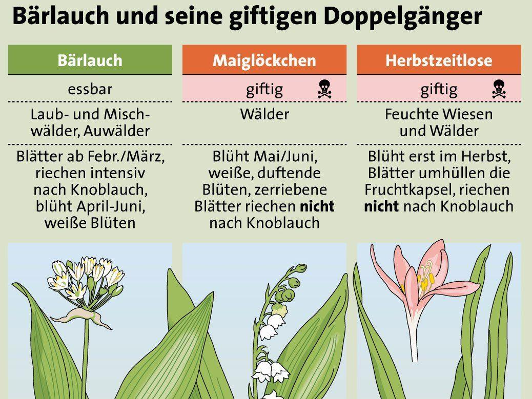 Giftige Maiglöckchen und Herbstzeitlose haben täuschend ähnliche Blätter.