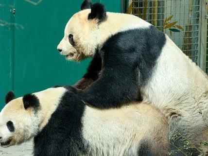 Der Tiergarten Schönbrunn hofft nach der Panda-Paarung auf Nachwuchs.