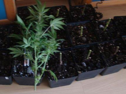 Die Polizei stellte mehrere Cannabis-Pflanzen in der Wohnung sicher.