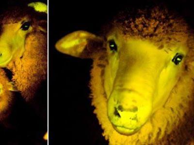 Erbgut von Schafen mit Quallen-DNA versetzt.