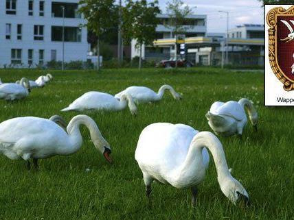 Das sieht man auch nicht alle Tage: Rund 30 Schwäne grasen am Lochauer Kaiserstrand.