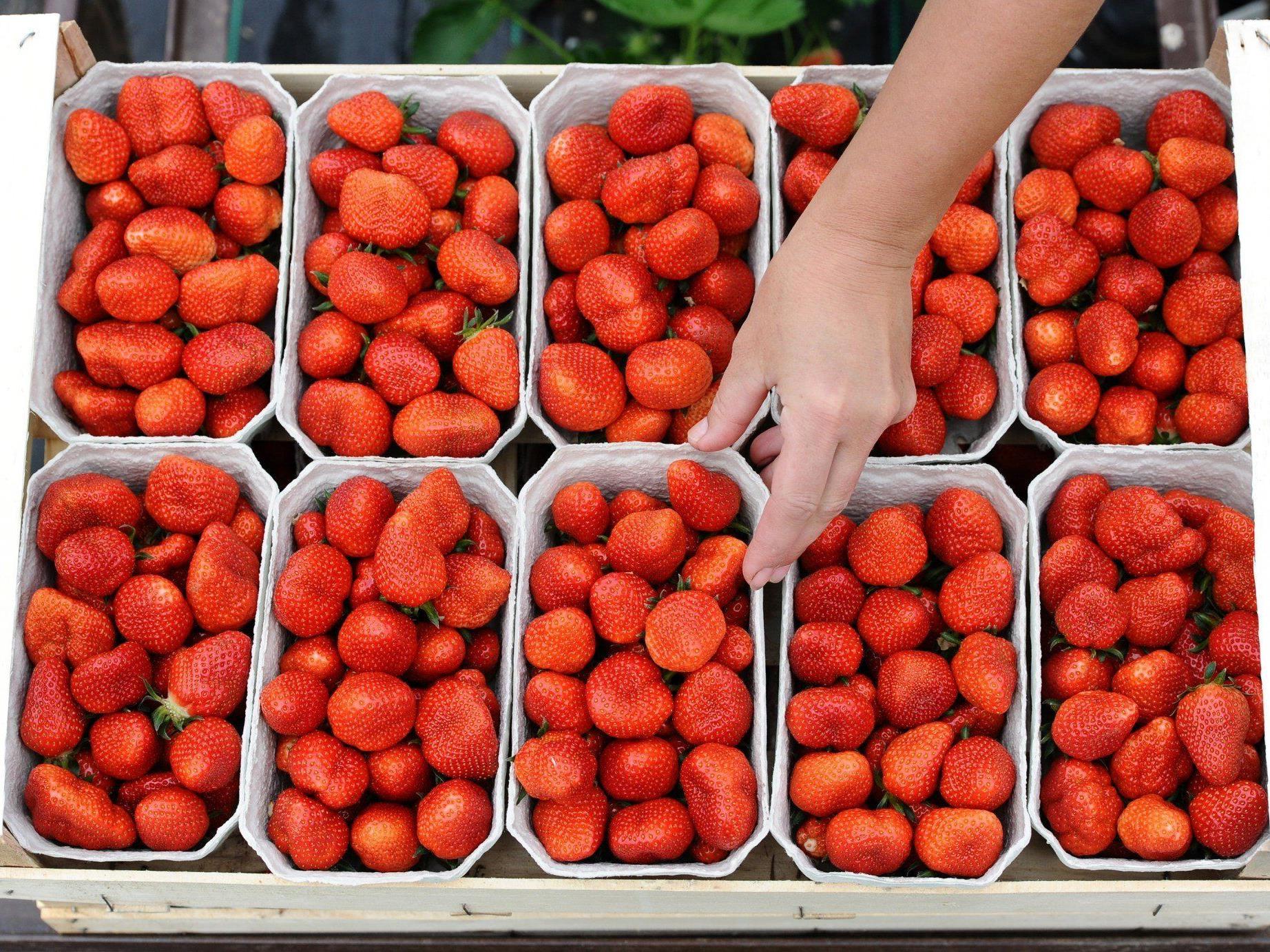 Von 16 Erdbeer-Proben waren bloß drei komplett pestizidfrei.