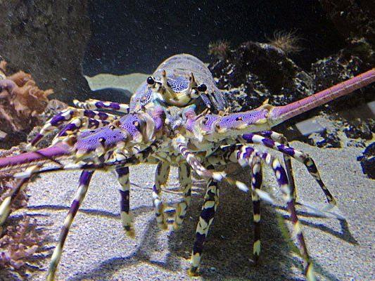 Riesenkrebse im Haus des Meeres - hier eine indopazifische Schmucklanguste