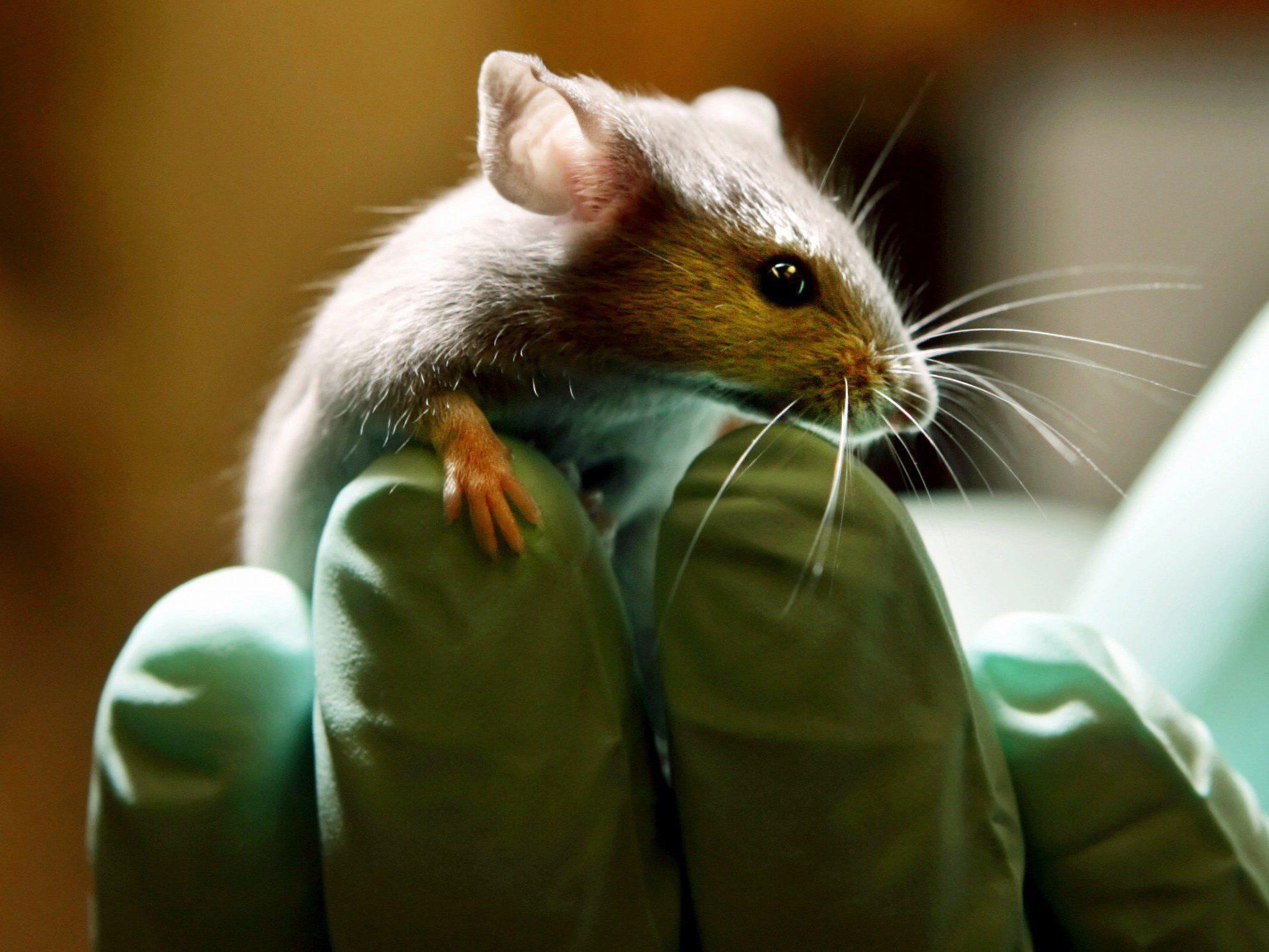 """""""Knospen"""" menschlichen Lebergewebes im Kopf einer Maus."""