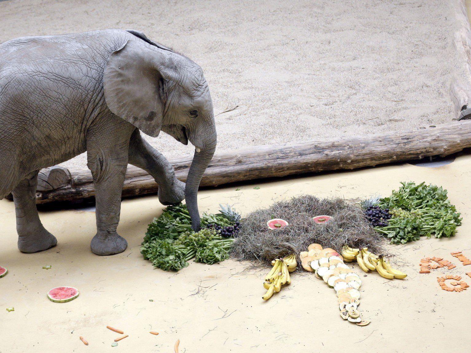 Elefant Tuluba bekam Geburtstagstorte geschenkt