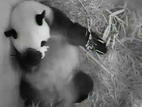 Im Tiergarten Schönbrunn kam am Mittwoch ein Pandababy auf die Welt.