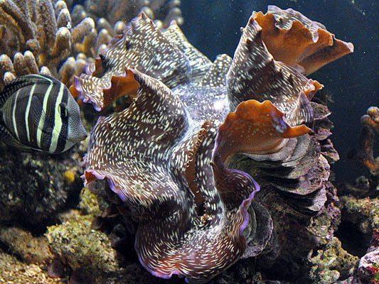 Die Riesenmuschel im Haus des Meeres