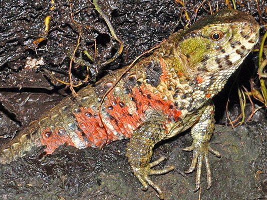 Die Krokodilschwanz-Höckerechsen im Haus des Meeres