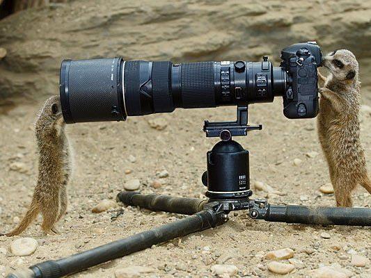 Die Erdmännchen haben keine Scheu vor der Kamera