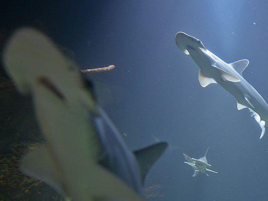 Prachtvolle Haie im Haus des Meeres