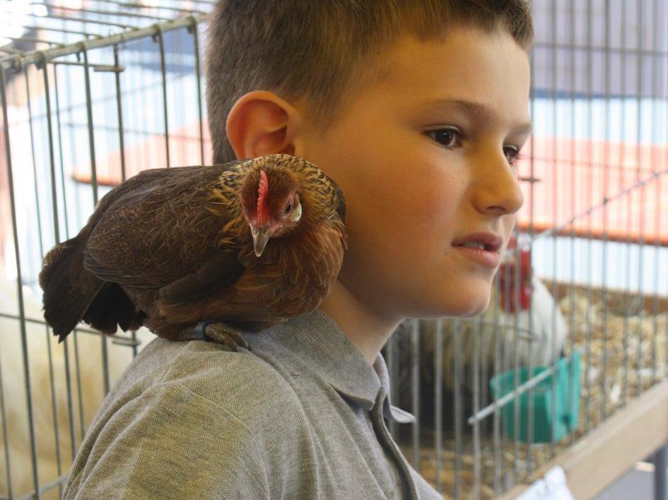 Jungzüchter Noah präsentiert am kommenden Wochenende seine Holländischen Zwerghühner