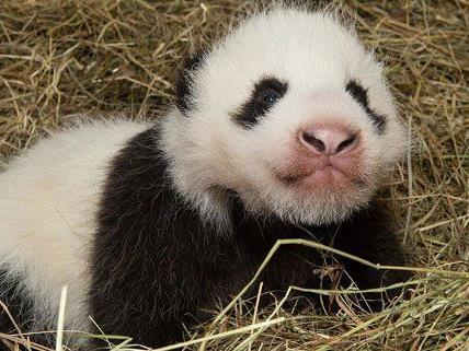 Der Panda-Bub im Tiergarten entwickelt sich prächtig.