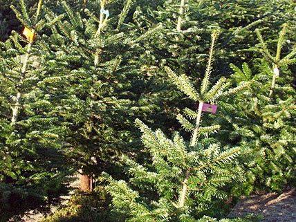 Für den Wiener Weihnachtsbaum wird alle Jahre wieder der schönste Baum ausgesucht