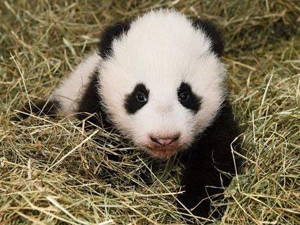Das Pandy-Baby in der Wurfbox.