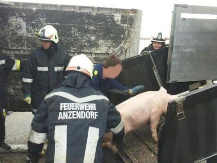 Die Schweine wurden nach dem Unfall verladen.