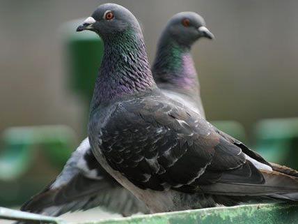 Tauben fühlen sich in den Wiener U-Bahnstationen wohl.