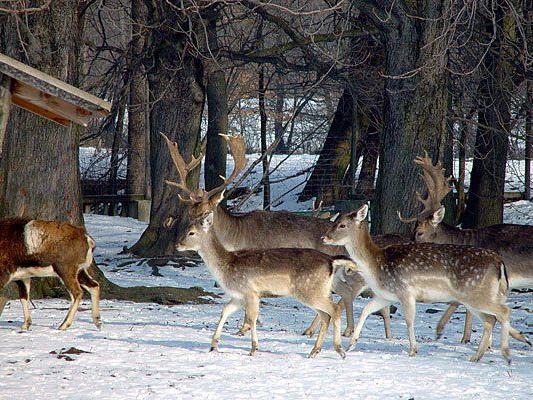 Im Lainzer Tiergarten leben allerlei Wildtiere