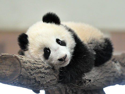 Ein besonderer Besuchermagnet: Panda-Bub Fu Bao
