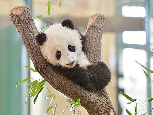 Der freche Fu Bao klettert gerne