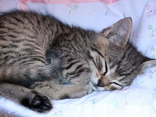Der Verurteilte soll eine getigerte Katze geschlachtet und verspeist haben.