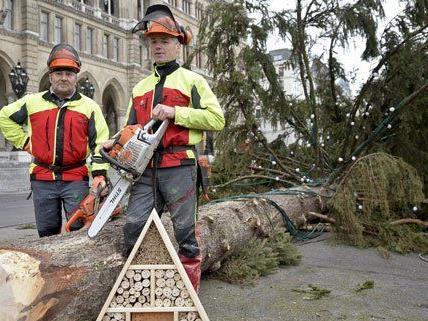 Am Dienstag wurde der Christbaum vor dem Rathaus gefällt.