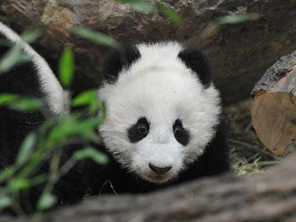 Fu Bao hat einen ersten Ausflug gewagt.