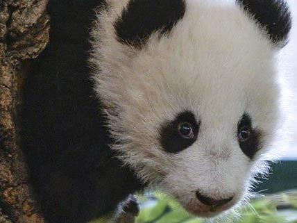 Pandanachwuchs Fu Bao wird am Freitag ein halbes Jahr alt.
