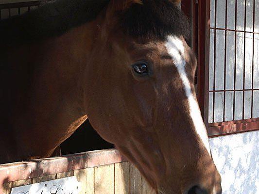 Vier der vergifteten Pferde konnten wieder in ihren Reitstall zurückkehren.