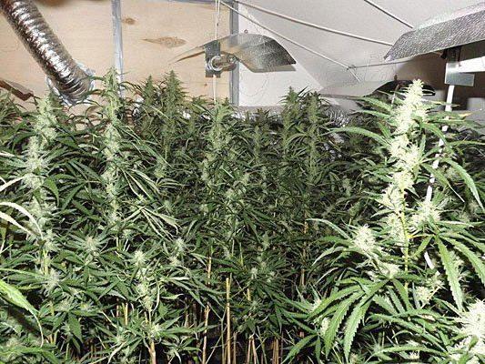 Diese Hanfplantage entdeckten die Beamten