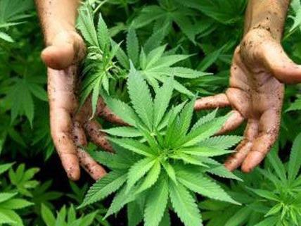 Wien - Donaustadt/Floridsdorf: Organisierter Marihuanahandel aufgedeckt