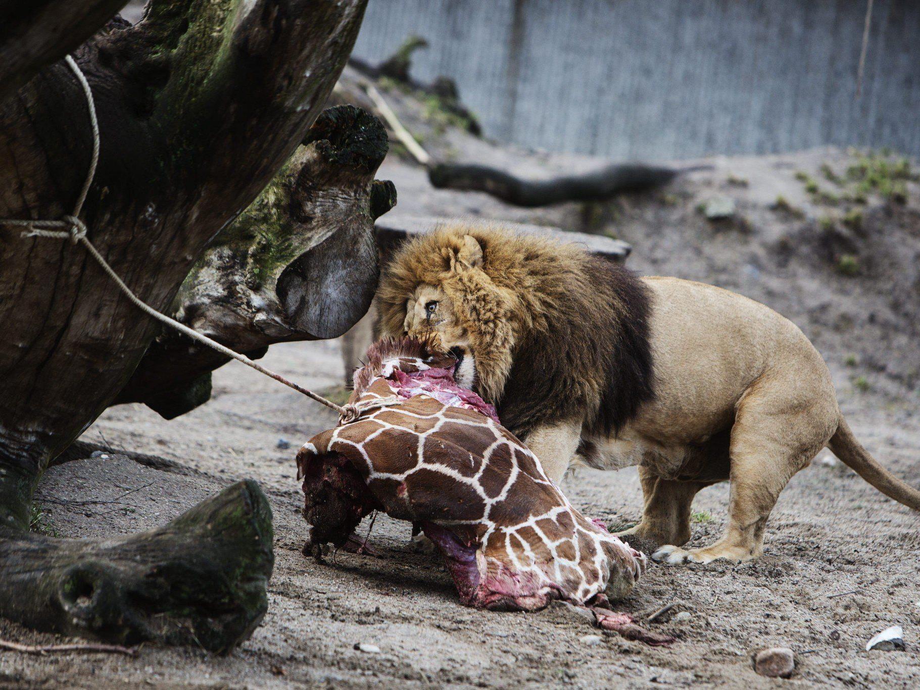 Trotz Gnadenappell: Marius wurde den Löwen zum Fraß vorgeworfen.