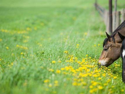 Zehn Pferde sind im Burgenland offenbar vergiftet worden.