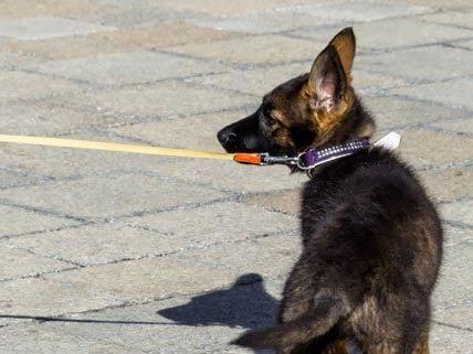 Ein Schäferhund bemerkte den mutmaßlichen Einbrecher auf dem Grundstück.