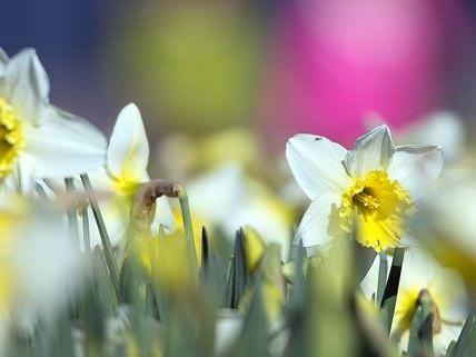 Erste Frühlingsboten täuschen: Am Wochenende kühlt es deutlich ab.
